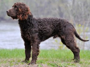 American-Water-Spaniel-akmerkez-petworld
