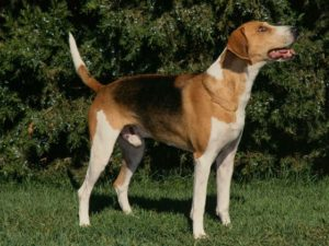 american-foxhound-akmerkez-petworld