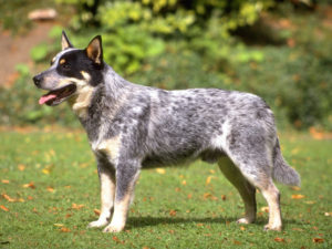 australian-cattle-dog-akmerkez-petworld
