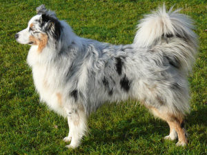 australian-shepherd-dog-akmerkez-petworld