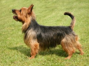 australian-terrier-akmerkez-petworld