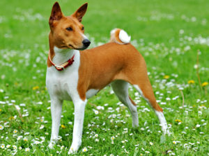 basenji-akmerkez-petworld