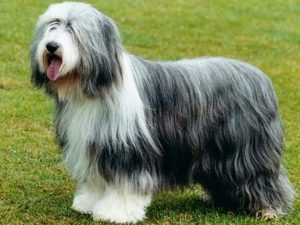 bearded-collie-akmerkez-petworld