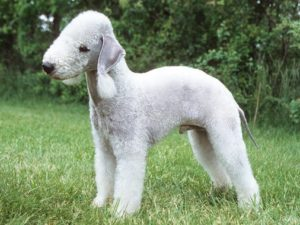 bedlington-terrier-akmerkez-petworld
