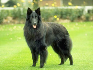 belgian-shepherd-akmerkez-petworld