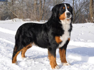 bernese-mountain-dog-akmerkez-petworld