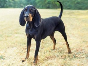 black-and-tan-coonhound-akmerkez-petworld