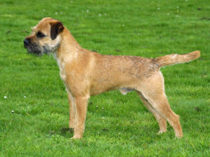 border-terrier-akmerkez-petworld