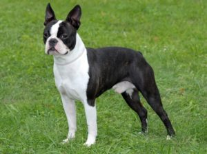 boston-terrier-akmerkez-petworld
