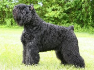 bouvier-des-flandres-akmerkez-petworld