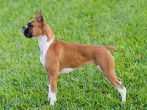 boxer-akmerkez-petworld