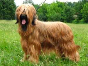 briard-akmerkez-petworld