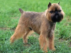 brussels-griffon-akmerkez-petworld