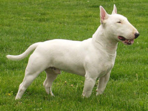 bull-terrier-akmerkez-petworld