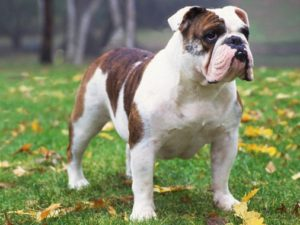bulldog-akmerkez-petworld