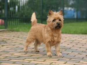 cairn-terrier-akmerkez-petworld