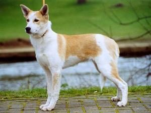canaan-dog-akmerkez-petworld