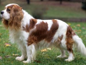 cavalier-king-charles-akmerkez-petworld