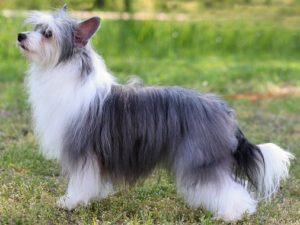 chinese-crested-akmerkez-petworld