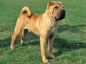 chinese-shar-pei-akmerkez-petworld