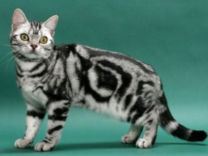 american-shorthair-akmerkez-petworld