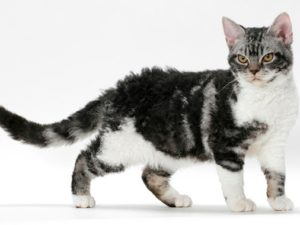american-wirehair-akmerkez-petworld
