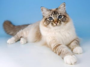 birman-kedi-akmerkez-petworld