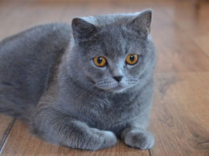 british-shorthair-kedi-akmerkez-petworld