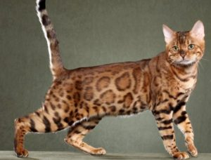 california-spangled-cat-akmerkez-petworld