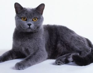 A grey Chartreux kitten reclining with paws outstretched