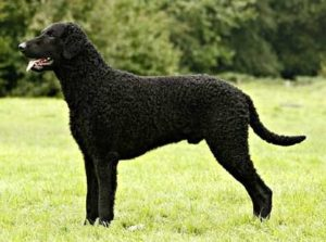 curly-coated-retriever-akmerkez-petworld