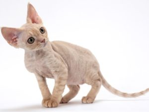 devon-rex-cat-akmerkez-petworld