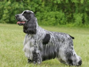 english-cocker-spaniel-akmerkez-petworld