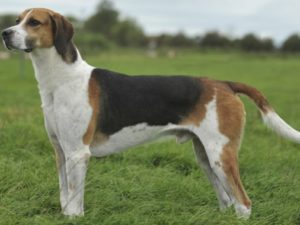 english-foxhound-akmerkez-petworld