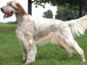 english-setter-akmerkez-petworld