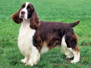 english-springer-spaniel-akmerkez-petworld