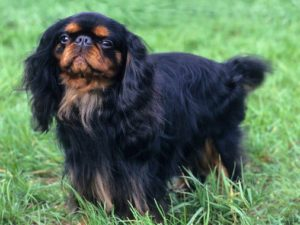 english-toy-spaniel-akmerkez-petworld