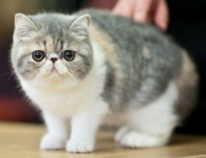 exotic-shorthair-akmerkez-petworld