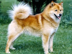 finnish-spitz-akmerkez-petworld