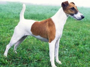 fox-terrier-smooth-akmerkez-petworld