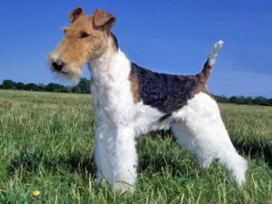 fox-terrier-wire-akmerkez-petworld