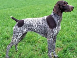german-shorthaired-pointer-akmerkez-petworld