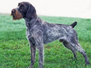 german-wirehaired-pointer-akmerkez-petworld