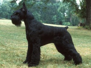 giant-schnauzer-akmerkez-petworld