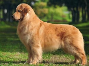 golden-retriever-akmerkez-petworld
