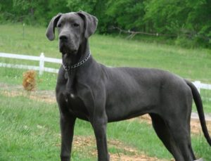 great-dane-akmerkez-petworld