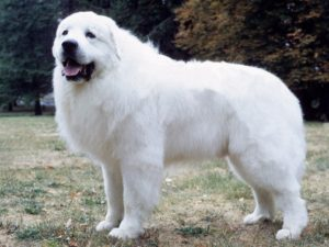 great-pyrenees-akmerkez-petworld