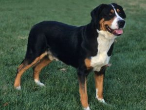 greater-swiss-mountain-dog-akmerkez-petworld