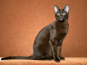 havana-brown-cat-akmerkez-petworld