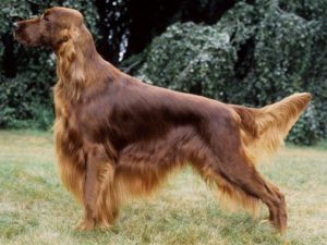 irish-setter-akmerkez-petworld